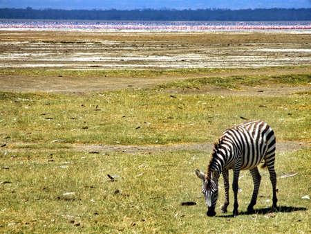 lake naivasha: Zebra in front of lake of flamingos lake Naivasha Kenya