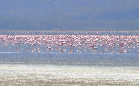 lake naivasha: Flamingos on lake Naivasha Kenya  Stock Photo