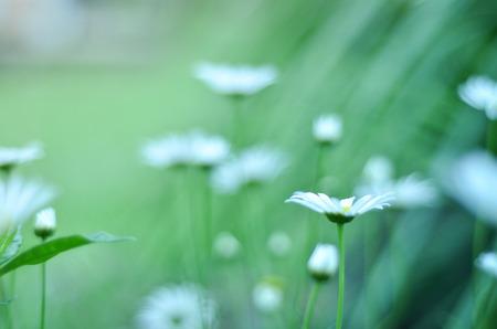 medow: Garden of Daisy Flowers Stock Photo