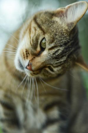 grey tabby: Tabby Cat