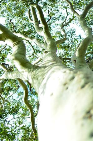 tall: Tall Gum Tree