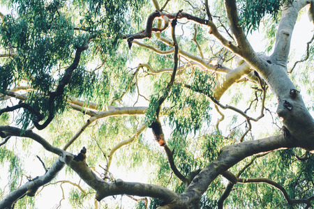 Gumtree Branches