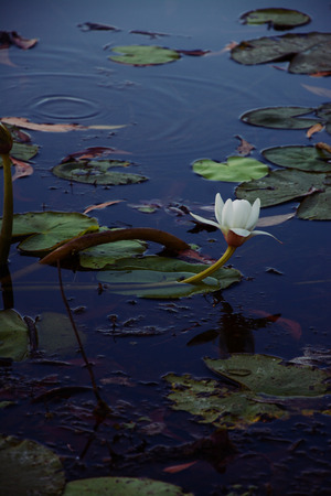 lily pad: Lily pad flower