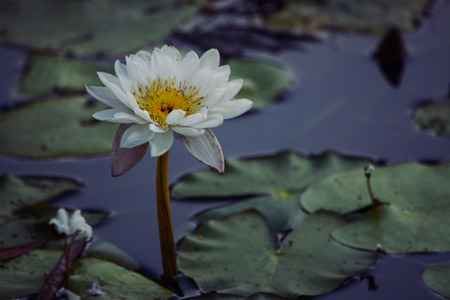 lily pad: lily pad flower Stock Photo