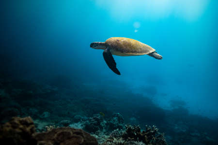 Green Sea Turtle swimming in the blue tropical waters off Lady Elliot Island on the Great Barrier Reef, Queensland, Australia Archivio Fotografico