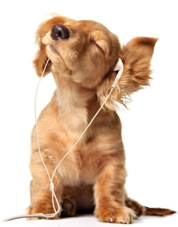 Young puppy listening to music on earphones.