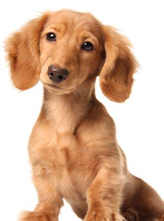 doxie: Dachshund puppy