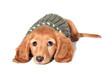 Dachshund puppy in a sweater photo