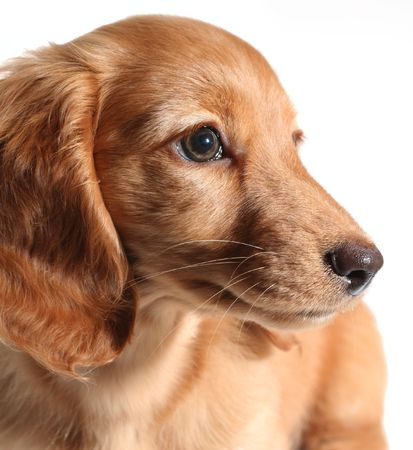 doxie: Adorable long hair dachshund puppy
