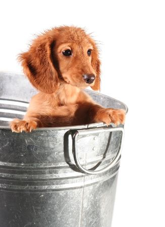 Wet dachshund puppy in a tub. Stock Photo - 2533220