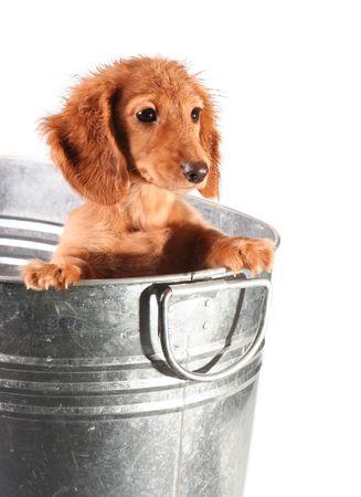 bath time: Wet dachshund puppy in a tub.