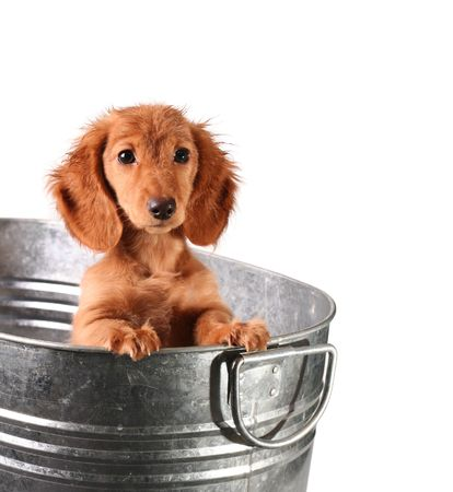 dog isolated: Wet puppy in a bucket