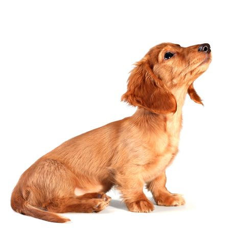 Isolated dachshund puppy looking up... add your own product. Stock Photo - 2533213