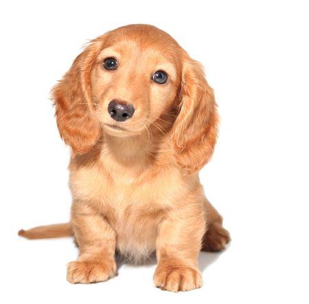 pal: Miniature dachshund puppy Stock Photo