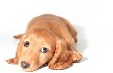 Miniature dachshund puppy Stock Photo - 2533183