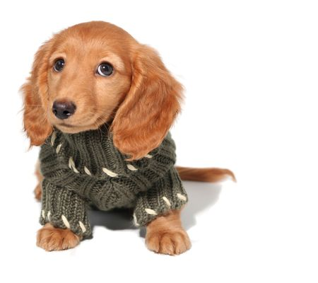 Miniature dachshund puppy in a winter sweater.