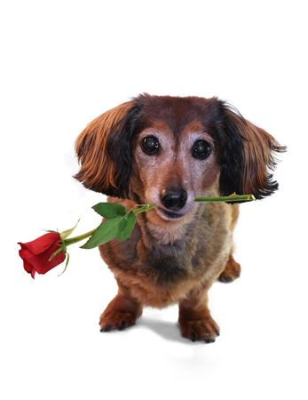 Valentine dachshund. One in a series of holiday pictures featuring this pup Stock Photo - 2533214