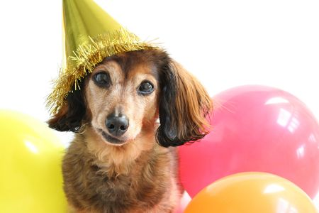 Longhaired dachshund in a birthday hat.