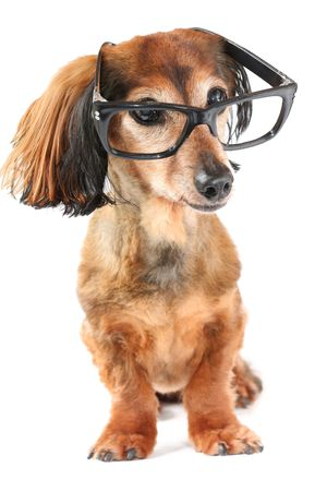 Longhair dachshund wearing glasses.