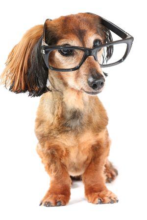 Longhair dachshund wearing glasses.  photo