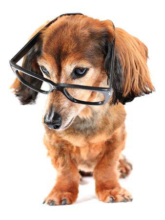 gafas de lectura: Dachshund llevaba gafas de lectura.