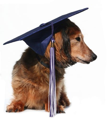 longhair: Longhair dachshund in a graduation cap Stock Photo