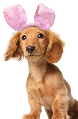 Easter bunny dachshund with a goofy expression.  Stock Photo - 2611245