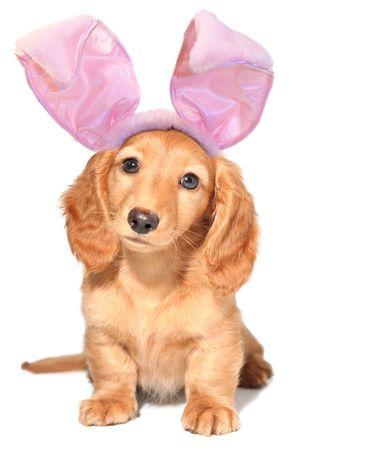 pal: Easter bunny dachshund.