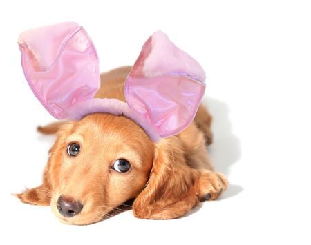 Easter bunny dachshund photo