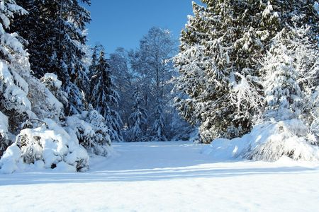 cedars: Winter scene, beautiful blue sky, copy-space at the bottom.