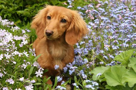 Dachshund puppy outside surrounded by flowers.  Stock Photo