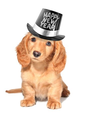 newyear: Miniature dachshund puppy Stock Photo