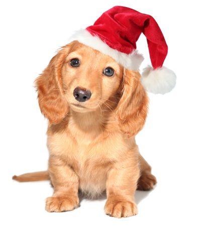 wiener dog: Miniature dachshund puppy Stock Photo