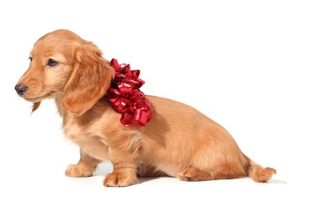 Dachshund puppy with a red bow. Stock Photo - 3205382
