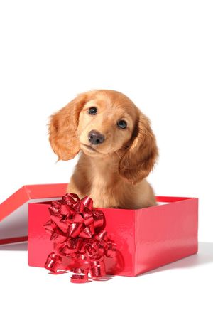 A dachshund puppy for Christmas! photo