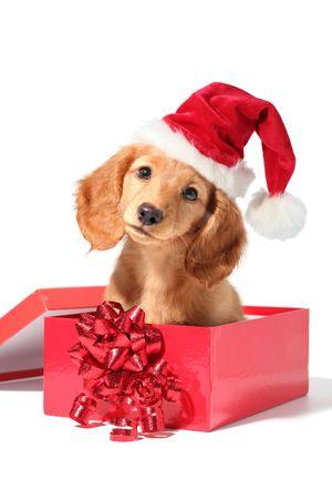 miniature breed: Un cachorro Dachshund para Navidad!  Foto de archivo