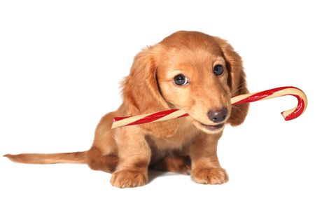 miniature: Dachshund puppy with candy cane.  Stock Photo