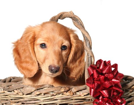 Dachshund puppy in a wicker basket.  Stock Photo - 3205479
