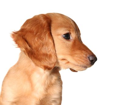 Cute dachshund puppy Stock Photo - 3205389