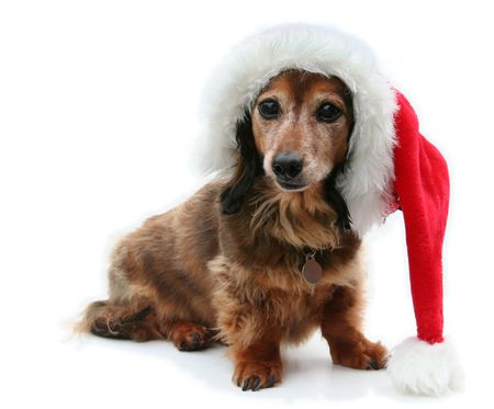 longhair: Longhair dachshund isolated, wearing a Santa hat.