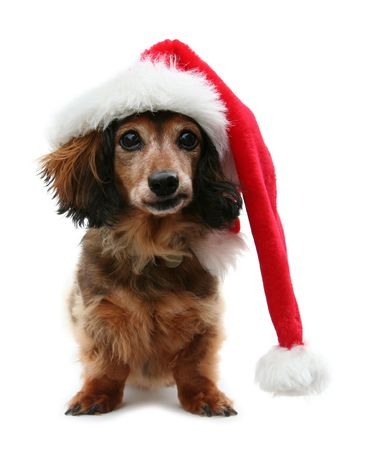 Long haired Santa dachshund with funny expression.