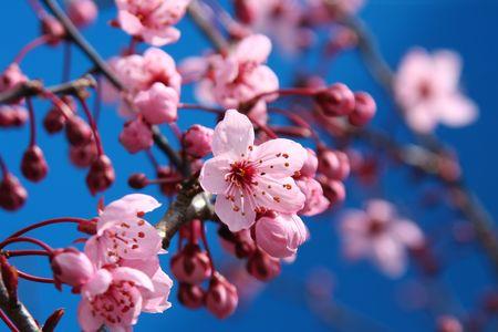 arbol cerezo: Hermosa flor de cerezo contra un brillante cielo azul.
