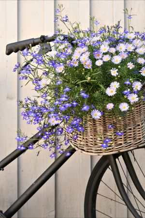 Old bike with basket of flowers.