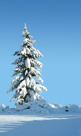 lone pine: Single snow covered evergreen against a polarized blue sky.