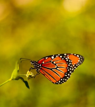 Monarch butterfly, isolated.