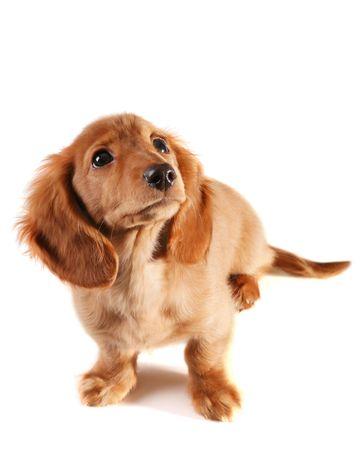 Bewildered looking dachshund puppy Stock Photo - 3249135