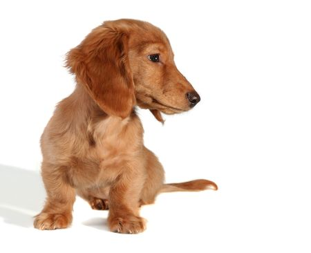 Dachshund puppy looking sideways, add your own product.  Stock Photo