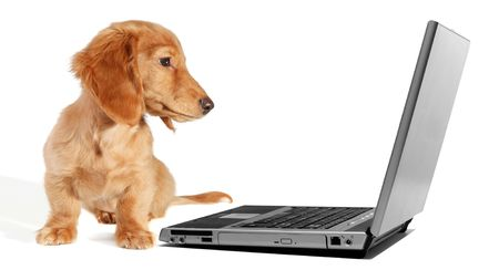 Dachshund puppy looking at a laptop Stock Photo