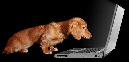 Dachshund puppy looking fascinated by a laptop.  photo