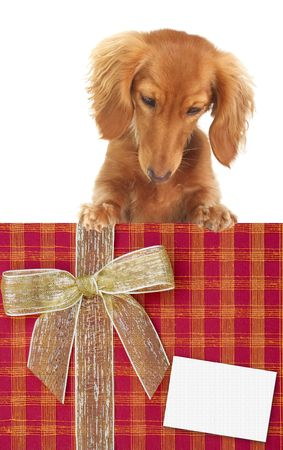 Dachshund puppy looking down at a Christmas present. Add your own text.  photo